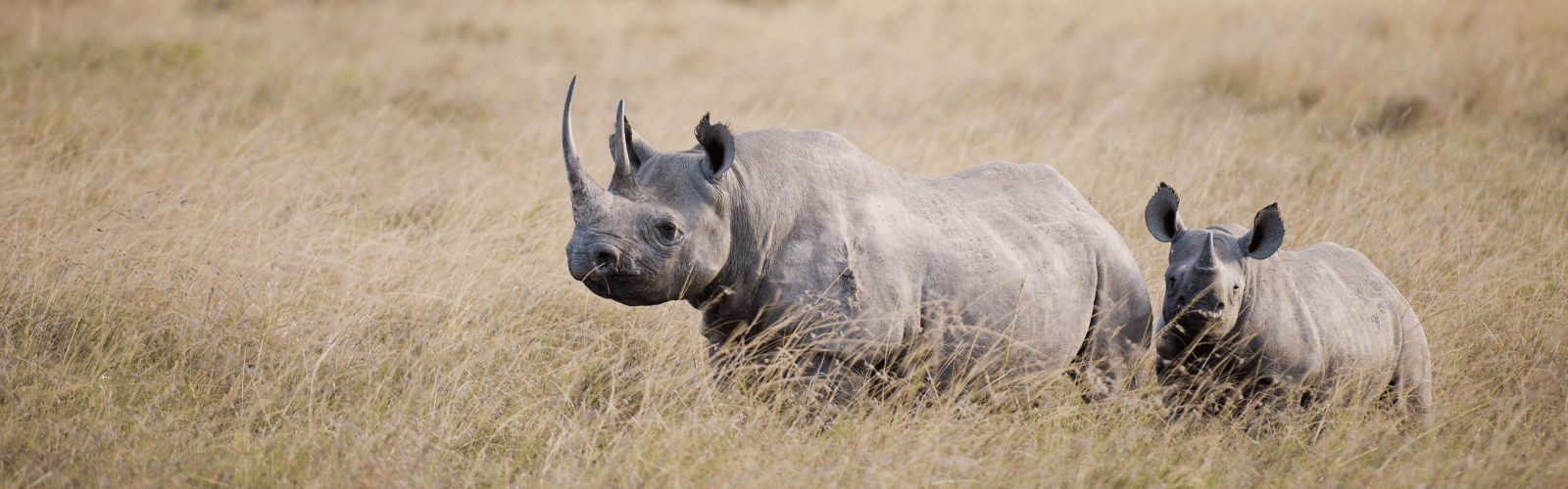 Value rhino horns Rhino Horns