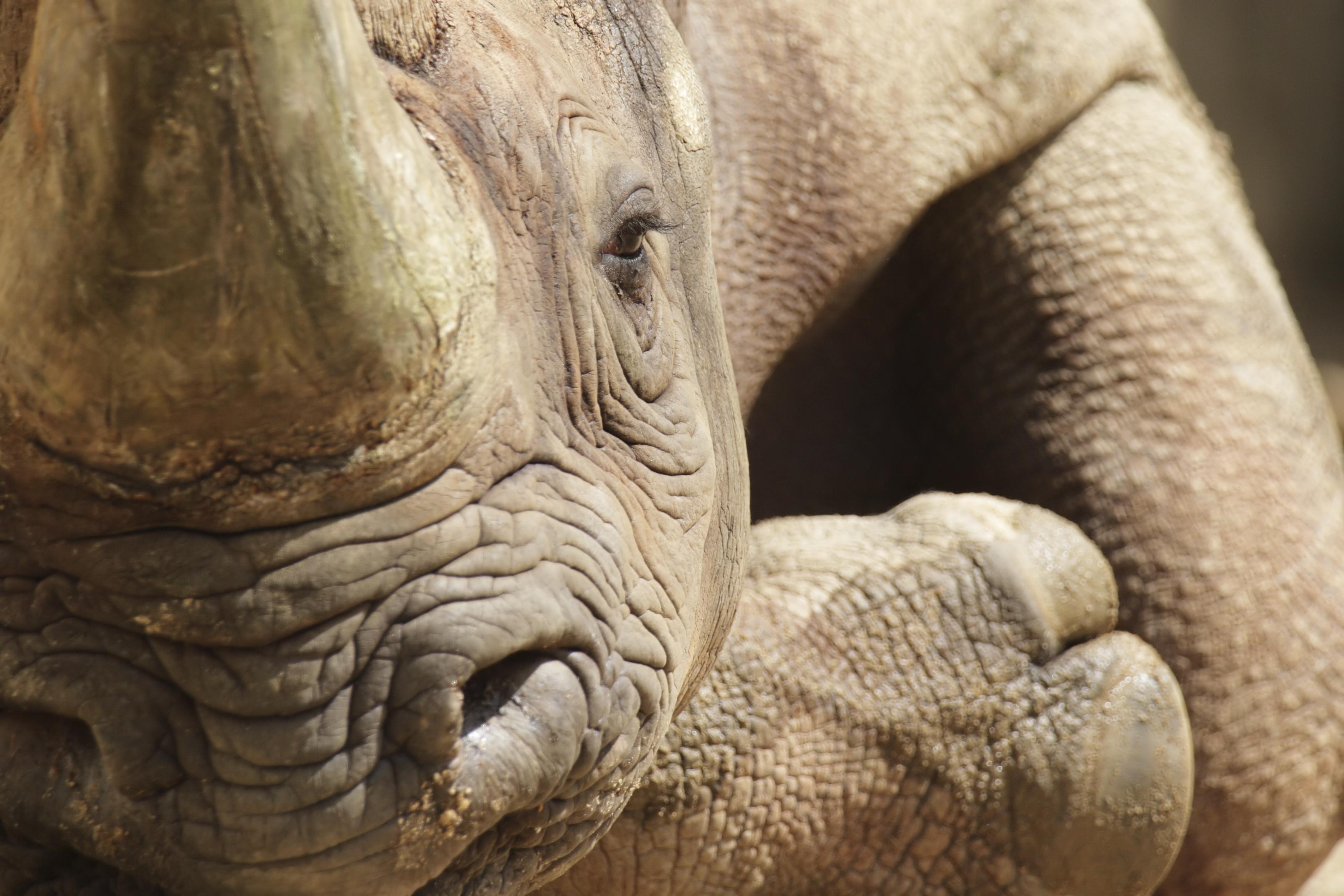 Black rhino closeup, rhino conservation