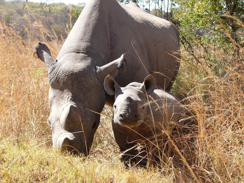 Black rhino mother and calf - Lowveld Conservancies