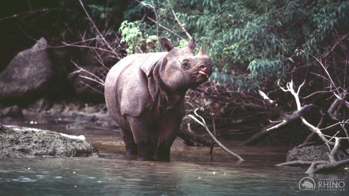 Javan Rhino stands in the river in Ujung Kulon National Park - Java, Indonesia