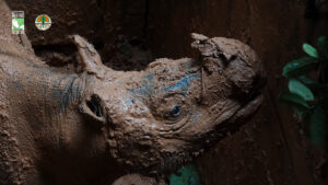 Rhino trapped in mud pit