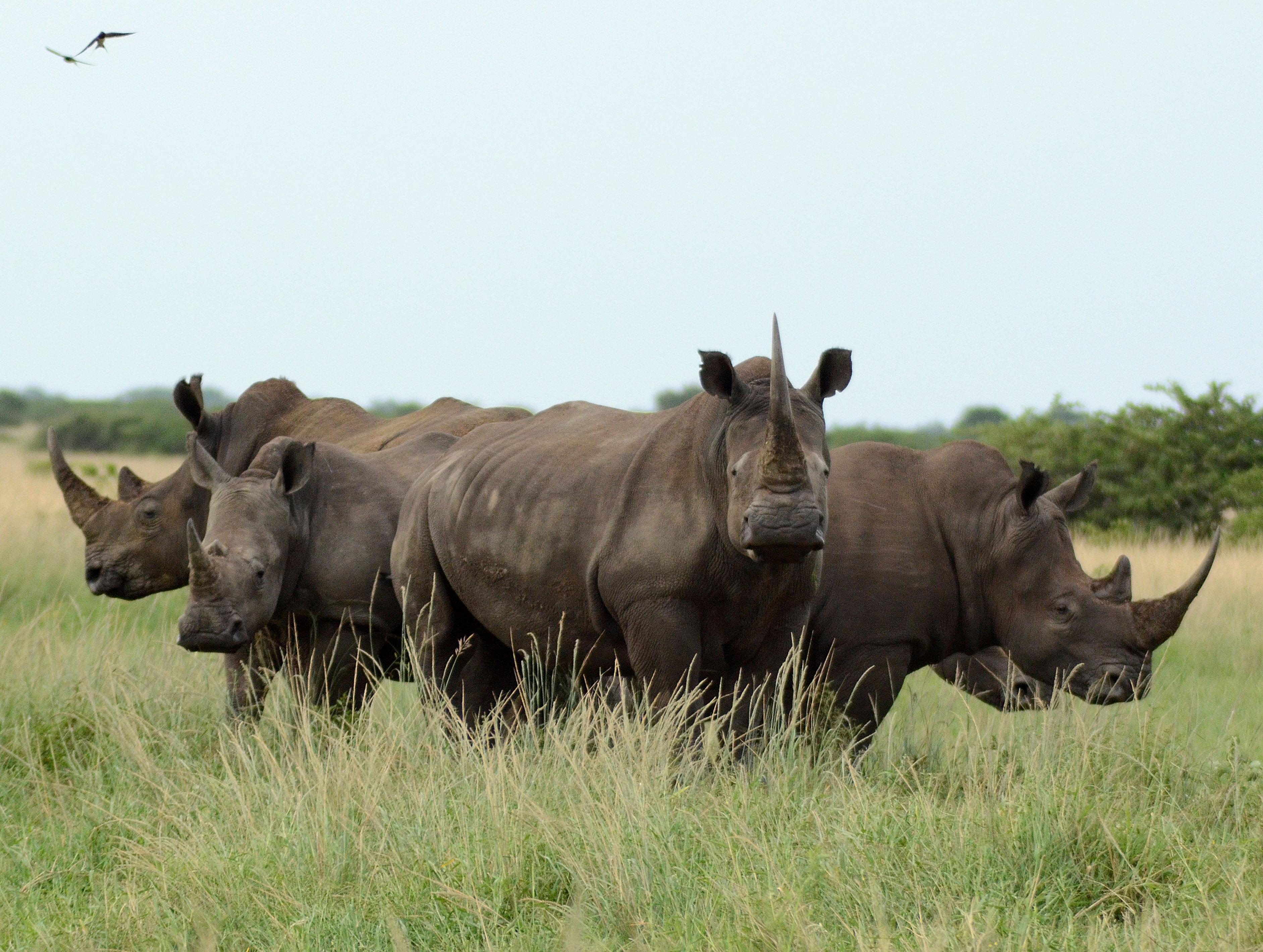 White rhino, rhino behavior, rhino vocalization, rhino social, rhino conservation