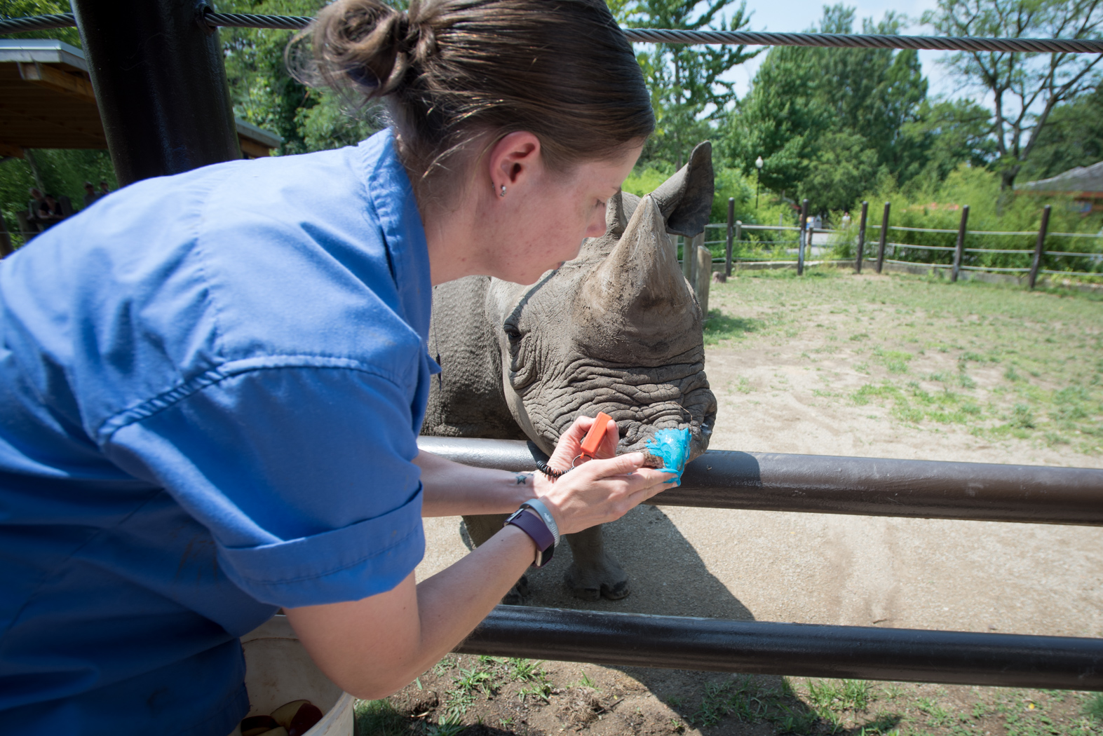 Rosie the rhino at the Columbus zoo gets ready to paint with zookeeper Mindi