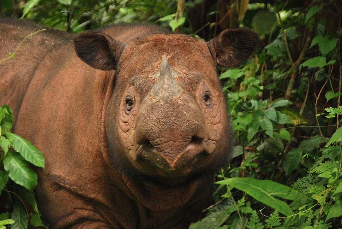 Sumatran Rhino, International Rhino Foundation, Ratu, Sumatran Rhino Sanctuary