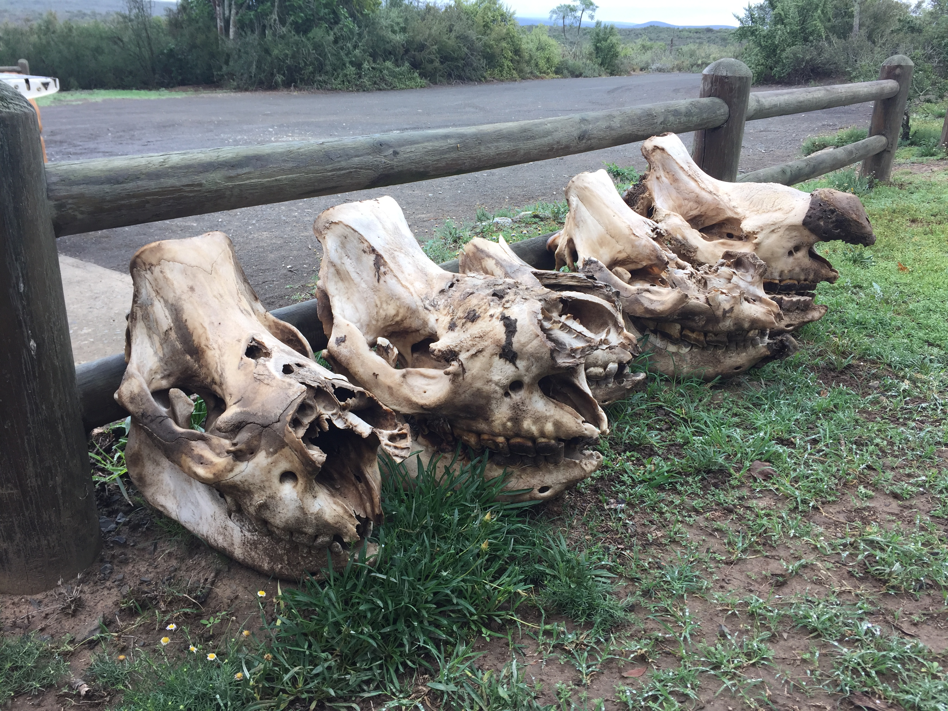 Figure 1. Skulls of rhinos poached, including one calf (center) in Great Fish River Game Reserve in 2016.