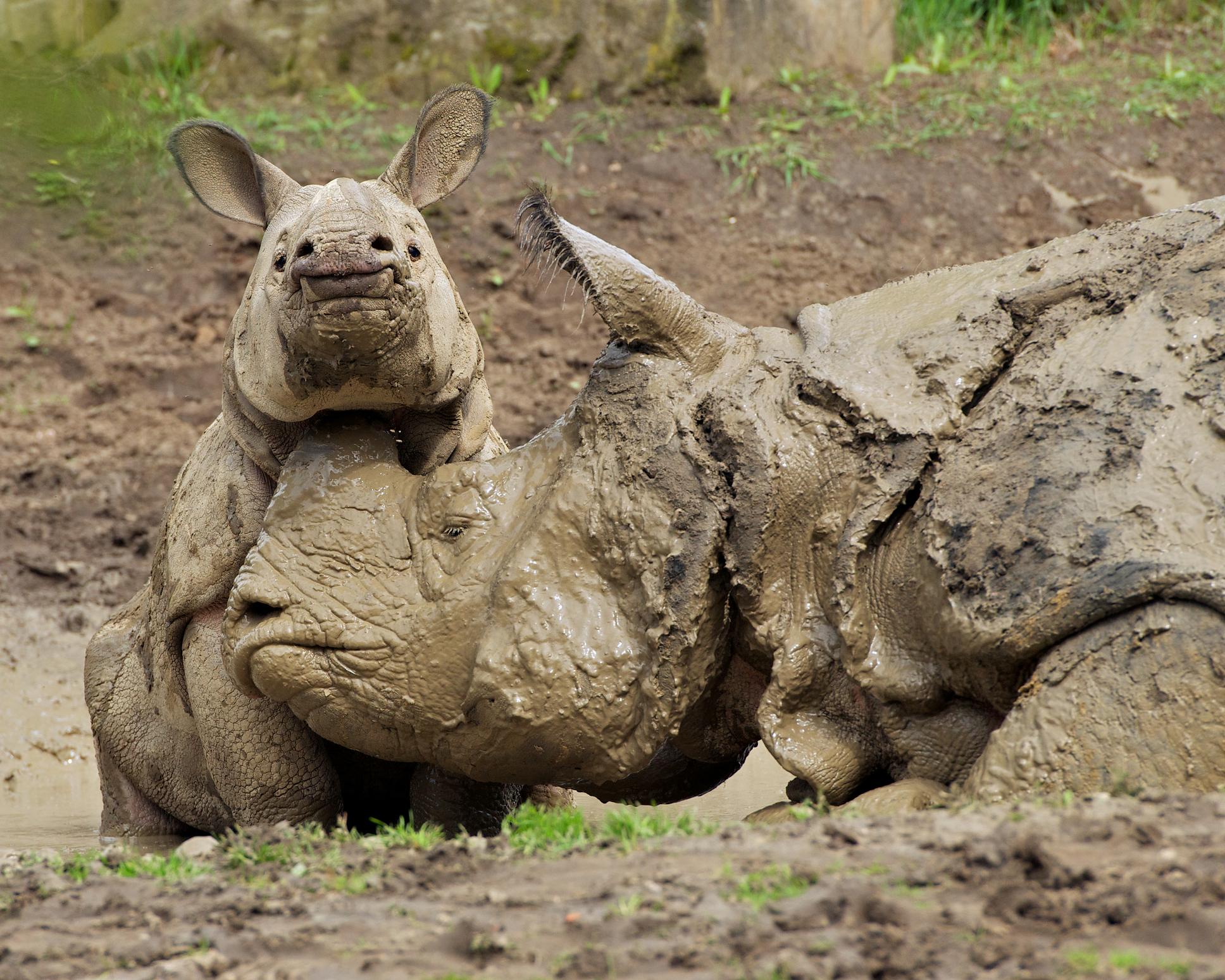indian-rhino-calf-and-cow-mud_dreamstime