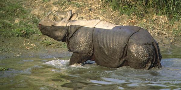 Indian-rhino-newsletter-1