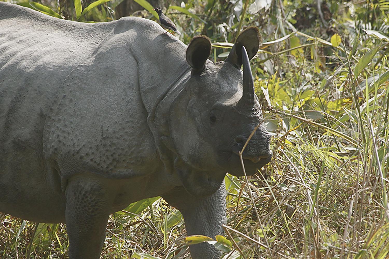 Greater one-horned rhino in the grasses in Kaziranga National Park; Assam, India.