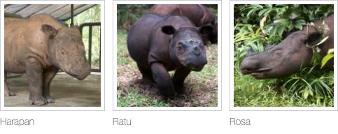 Sumatran Rhinos, adoption