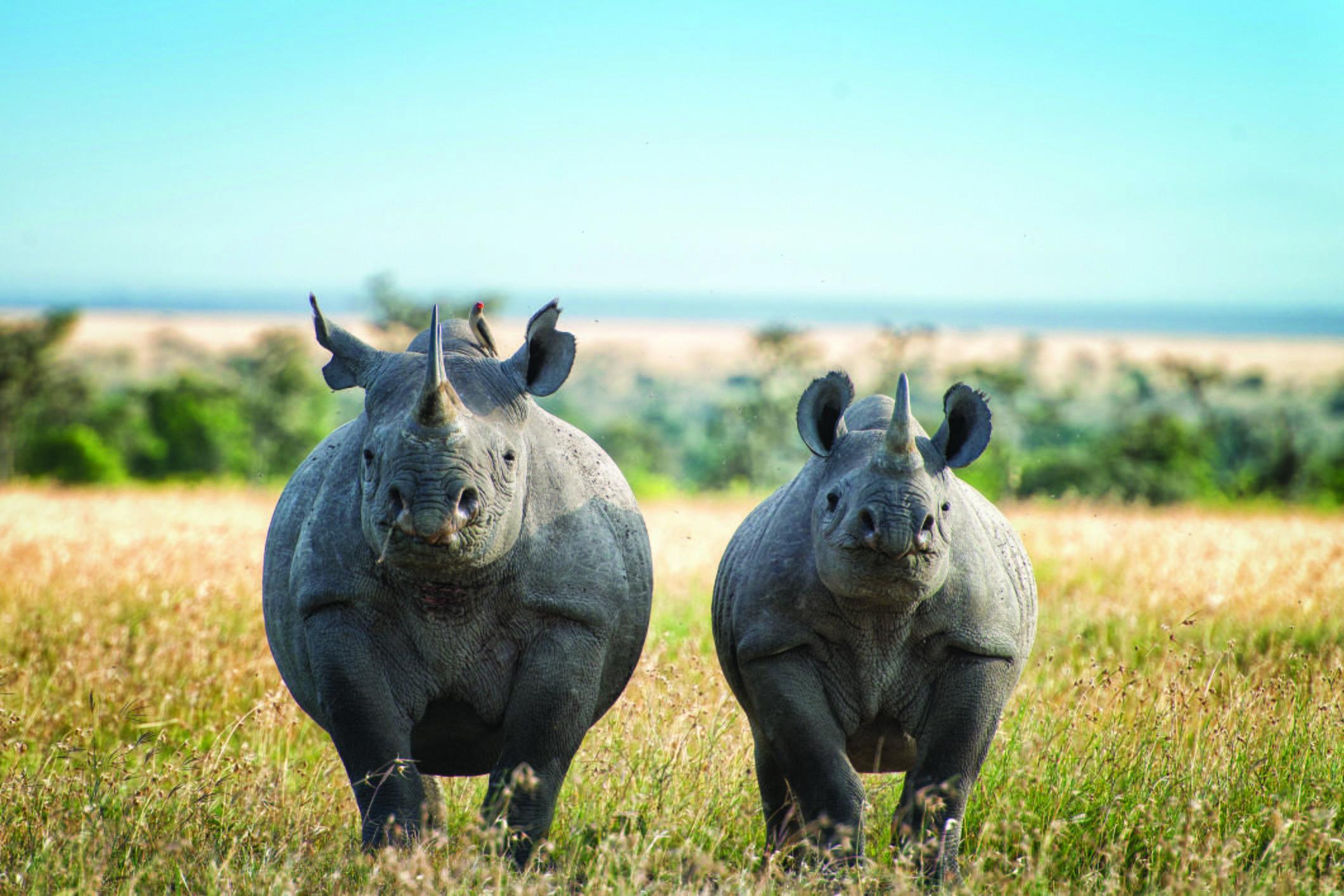 Black rhino and older calf