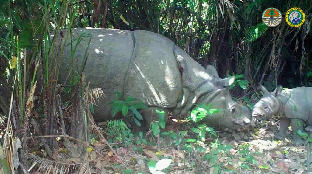 Camera trap photo of Javan rhino and calf in Ujung Kulon National Park, Indonesia.
