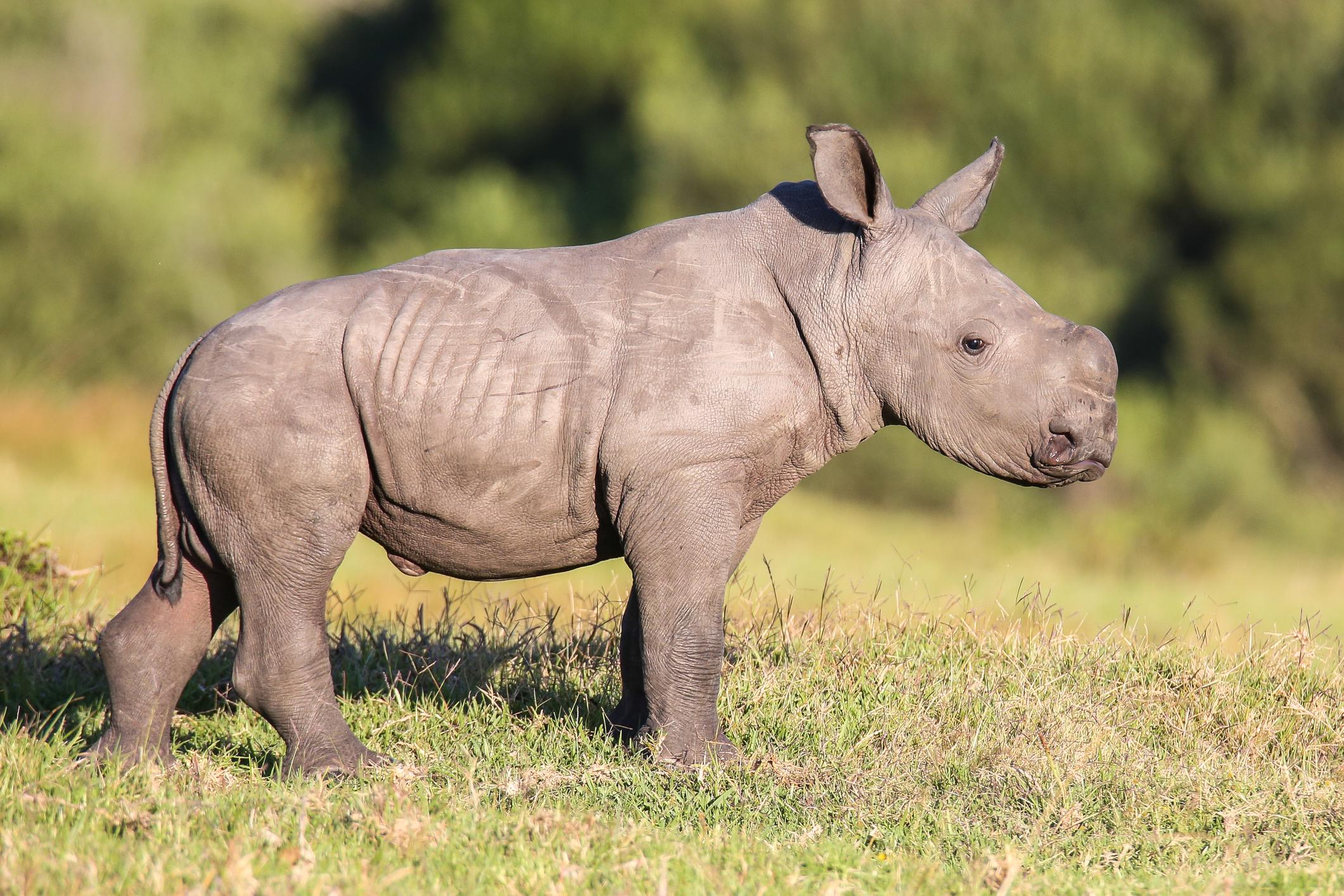 white-rhino-calf-dreamstime_m_51179444